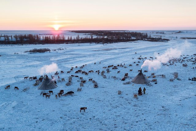 An ariel shot of the herd of reindeers and the Nenets camp, in Siberia, December 2016. (Photo by Timothy Allen/Barcroft Productions)