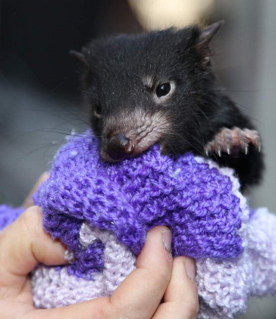 A Tasmanian devil cub tries to bite his way out of a small bag during an event marking the National Endangered Species Day in Sydney, Australia, September 7, 2012. The National Threatened Species Day is a community action and an education event aimed at highlighting vulnerable Australian animals and and what can be done in our daily lives to save them. (Photo by Rob Griffith/AP Photo)