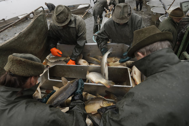 Fishermen sort fish, mostly carp, during a traditional fish haul at the Horusicky pond near the town of Veseli nad Luznici, Czech Republic, Tuesday, October 24, 2017. (Photo by Petr David Josek/AP Photo)