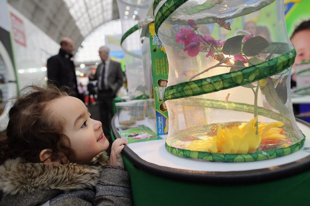 Juliet Quispe Palacios, 3, from London looks at a stand with real Butterflies hatching during the 2013 London Toy Fair at Olympia Exhibition Centre on January 22, 2013 in London, England. The annual fair which is organised by the British Toy and Hobby Association, brings together toy manufacturers and retailers from around the world.  (Photo by Dan Kitwood)