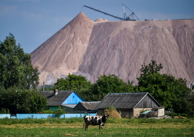 A cow grazes near a slagheap of a town of Salyhorsk some 150 km south of Minsk, on August 17, 2020. The Belarusian strongman, who has ruled his ex-Soviet country with an iron grip since 1994, is under increasing pressure from the streets and abroad over his claim to have won re-election on August 9, with 80 percent of the vote. (Photo by Sergei Gapon/AFP Photo)