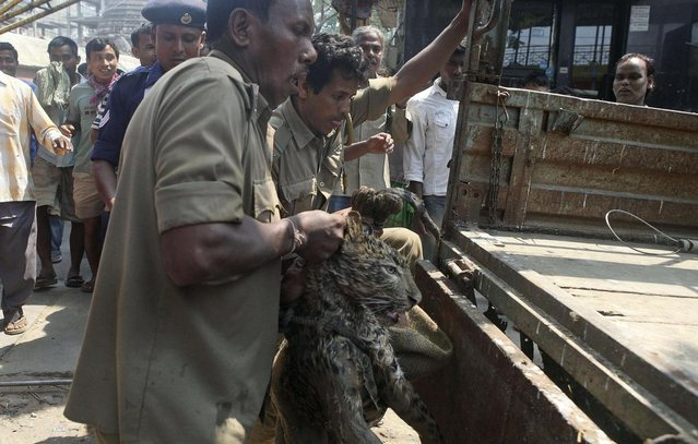 Forest officers load a tranquilized leopard after rescuing it from a well at the premises of the Kamakhya temple in Gauhati, India, Thursday, April 4, 2013.  According to locals, the leopard fell into the well while scouring for food. (Photo by Anupam Nath/AP Photo)
