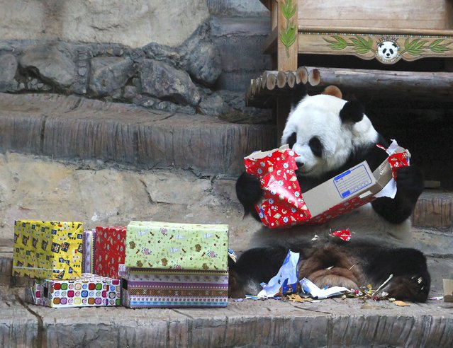 The 13-year-old female giant panda, named Lin Hui rips off present boxes to celebrate New Year at Chiang Mai Zoo, Chiang Mai province, northern Thailand 01 January 2015. The zoo prepares bamboos inside the boxes as the 2015 New Year presents for the panda. (Photo by Watcharapong Jingkaujai/EPA)