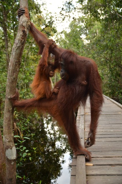 """Mom... I love you"". A mother-child moment... Orangutan mom and child are gazing each other with love at Camp Leakey, Tanjung Puting National Park. Location: Kotawaringin Barat, Kalimantan Tengah, Indonesia. (Photo and caption by Miranda Rachellina/National Geographic Traveler Photo Contest)"