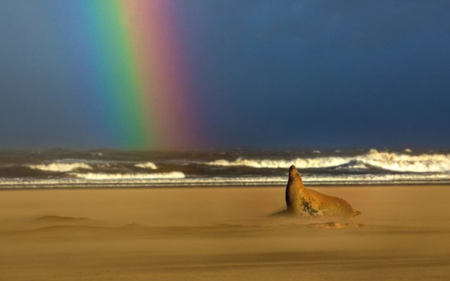 A grey seal basks under a rainbow on a beach on the Lincolnshire coast, England on November 21, 2017. (Photo by Sean Weekly/Caters News Agency)
