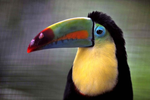 A keel-billed toucan sits at the Simon Bolivar Zoo in San Jose on July 28, 2013. (Photo by Hector Retamal/AFP Photo)