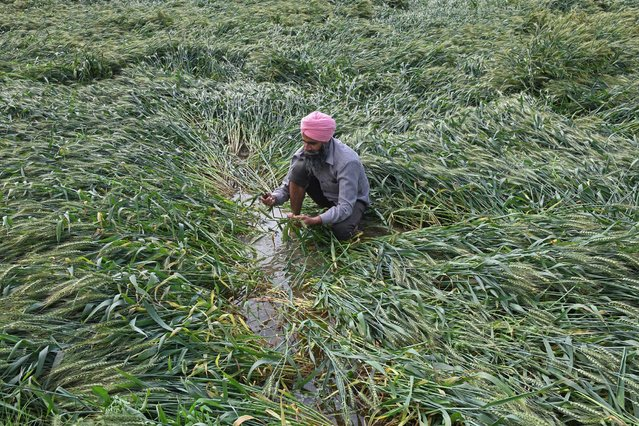 A farmer examines his wheat crop that was damaged after the field was flooded following heavy rains on the outskirts of Amritsar on March 23, 2021. (Photo by Narinder Nanu/AFP Photo)