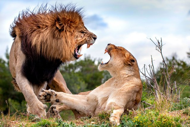 Photographer Brendon Jennings caught the moment when a lioness spurred the advances of a keen male in Kariega Game Reserve, South Africa. The male was quickly put in his place after nearly receiving a slash to the face. (Photo by Brendon Jennings/Caters News)