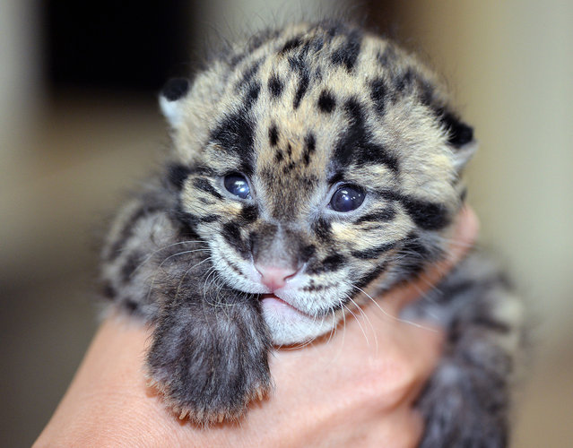 "An adorable clouded leopard cub has become an Internet sensation for being so sensationally cute. The 2-week old kitten, who squeaks at meal times, is yet to be named and is currently being cared for 24/7 by staff at the Tampa Lowry Park Zoo in Florida. ""He is very vocal, particularly near feeding time which occurs approximately every four hours"", the zoo's rep said in a statement. (Photo by TLPZ/Splash News and Pictures)"