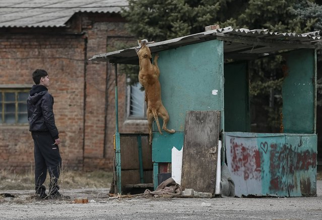 A local resident plays with a dog in the eastern town of Slaviansk in Donetsk region March 12, 2015. (Photo by Gleb Garanich/Reuters)