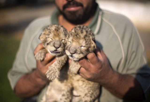 Two-day-old lion cubs Fajr and Sjel are seen at a zoo in the northern Gaza Strip town of Beit Lahia, on November 19, 2013. (Photo by Mohammed Abed/AFP Photo)