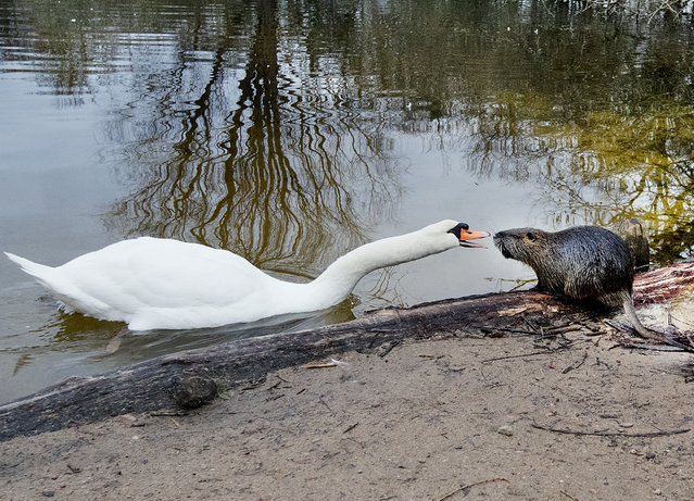 A swan and a nutria have an argument at a small lake near the airport of Frankfurt, Germany, Thursday, January 10, 2019. (Photo by Michael Probst/AP Photo)