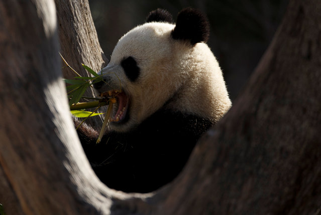 Xing Bao, a panda bear, eats bamboo inside its enclosure at a zoo in Madrid, Spain, January 12, 2017. (Photo by Sergio Perez/Reuters)