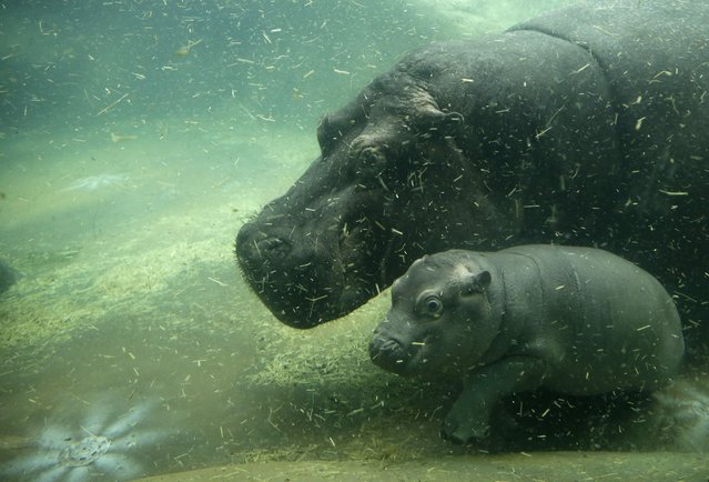 Newborn baby hippo swims with its mother Maruska at their enclosure in  the zoo in Prague, Czech Republic, Wednesday, February 24, 2016. The baby was born on Jan. 28, and is yet to be named. (Photo by Petr David Josek/AP Photo)