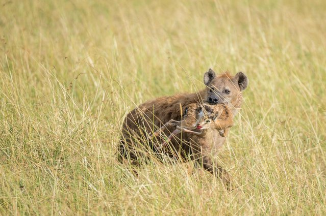 Hyena with a dead Thomson's gazelle in its mouth, in Masai Mara, Kenya, August 2015. (Photo by Ingo Gerlach/Barcroft Images)