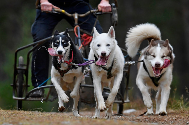 Mushers and their huskies practice at a forest course ahead of the Aviemore Sled Dog Rally on January 24, 2016 in Feshiebridge, Scotland. (Photo by Jeff J. Mitchell/Getty Images)