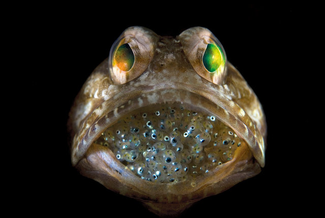 "A dour-faced, male dusky jawfish protects its cache of fertilized eggs by carrying them in his mouth. ""He seemed unconcerned by my presence and didn't retreat into his burrow when I started taking pictures"", photographer Steven Kovacs, who calls the image ""Father's Little Mouthful"", said in a statement. ""He couldn't have been more cooperative"". (Photo by Steven Kovacs)"