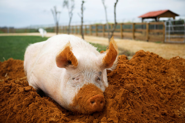 "A pig named Yossi, sits in soil at ""Freedom Farm"" which serves as a refuge for mostly disabled animals in Moshav Olesh, Israel on March 7, 2019. (Photo by Nir Elias/Reuters)"