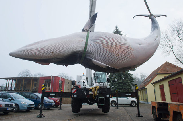 A dead minke whale is unloaded on the premises of the Marine Museum Stralsund, in Mecklenburg-Vorpommern, Germany, 10 March 2016. (Photo by Stefan Sauer/EPA)