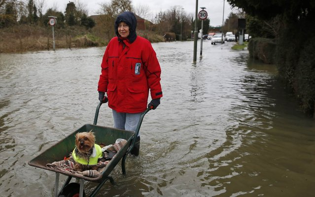 Celia, last name not given, a local resident pushes her dog in a wheelbarrow, in the flooded part of the town of Staines-upon-Thames, England, Wednesday, February 12, 2014. Prime Minister DavidCameron insisted Tuesday that money is no object in the battle against the widespread flooding that has engulfed parts of England. (Photo by Lefteris Pitarakis/AP Photo)