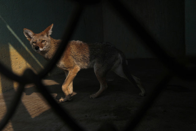 A Mexican coyote, that had been rescued with other animals while being trafficked illegally, is seen through the bars of an enclosure at the Federal Wildlife Conservation Center on the outskirts of Mexico City May 20, 2011. (Photo by Carlos Jasso/Reuters)