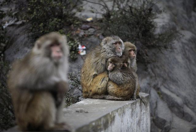 Monkeys huddle together by a roadside to keep warm as it rains in Nadani, at Jammu-Srinagar highway, India, Saturday, February 15, 2014. Hindus believe that feeding monkeys bring them the blessings of Hindu monkey god, Lord Hanuman. (Photo by Channi Anand/AP Photo)