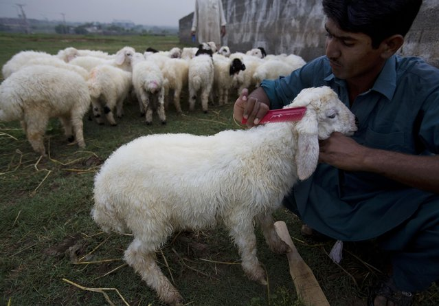 A Pakistani man combs a sheep to attract customers on a roadside in Islamabad, Pakistan, Wednesday, April 15, 2015. (Photo by B. K. Bangash/AP Photo)