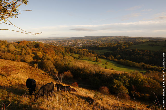 Cows graze in the early morning sunlight on the upper slopes of Leckhampton Hill in the Cotswolds on October