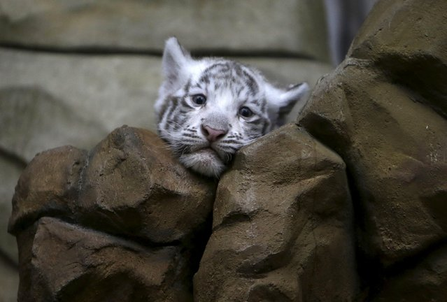 A newly born Indian white tiger cub rests in its enclosure at Liberec Zoo, Czech Republic, April 25, 2016. (Photo by David W. Cerny/Reuters)