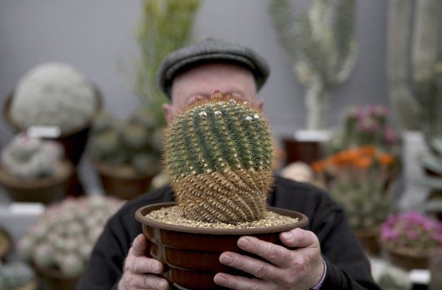 A man holds a Parodia Herteri cactus plant as he adjusts a display during preparations for the RHS Chelsea Flower Show in London, Britain May 21, 2016. (Photo by Neil Hall/Reuters)