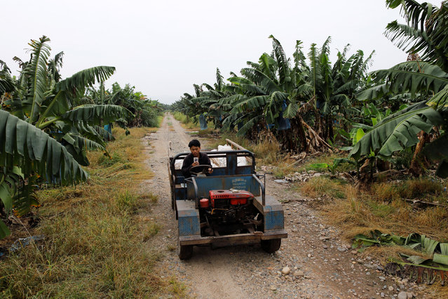 A worker drives through a banana plantation operated by a Chinese company in the province of Bokeo in Laos April 25, 2017. (Photo by Jorge Silva/Reuters)