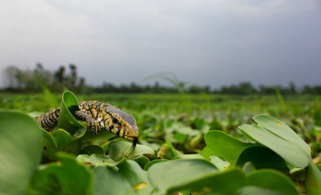 A yellow monitor lizard at a wetland in Chandpara in Kolkata, India. On 8 September 2015, 17 eggs were found in a hole of an earthen house. The eggs were kept in a plastic container which was ventilated and the humidity inside the container was maintained by spraying water. On 16 May, after eight months of finding these eggs,17 healthy yellow monitor lizards hatched out of the eggs. On the same day, the lizards were released in a wetland, in their natural habitat. (Photo by Manas Sarkar/Barcroft Images)