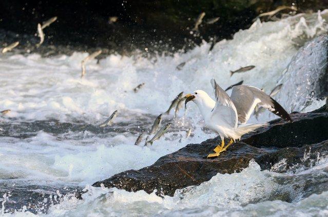 Seagulls feed themselves with pearl mullets, known as Alburnus tarichi, at Lake in Turkey's Van province on June 6, 2016. (Photo by Ozkan Bilgin/Anadolu Agency/Getty Images)