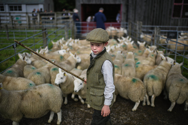 Nine year old Rory Scott from Bonar Bridge herds sheep as farmers gather at Lairg auction for the great sale of lambs on August 15, 2017 in Lairg, Scotland. Lairg market hosts the annual lamb sale, which is the biggest one day livestock market in Europe, when some twenty thousand sheep from all over the north of Scotland are bought and sold. (Photo by Jeff J. Mitchell/Getty Images)