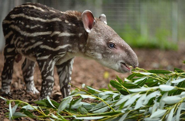 Undated handout photo issued by Chester Zoo of their latest arrival, Zathras the baby tapir, on August 6, 2014.  The tiny calf was born on Monday to mum Jenny after a gestation period of around 13 months and is the first male to be born at the zoo for eight years.   In the wild Brazilian, or lowland, tapirs live in wet forests and grasslands in South America where they are threatened because of habitat destruction and hunting. (Photo by Steve Rawlins/PA Wire/Chester Zoo)