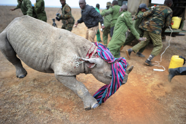 A Kenya Wildlife Services (KWS) veterinarian and security personnel back away from a tranquilised black-Rhino calf August 30, 2017 after she appeared to prematurely overcome the sedative at the Nairobi National Park, during an identification-tagging excercise to ease quick identification of resident rhino during anti-poaching patrols. (Photo by Tony Karumba/AFP Photo)