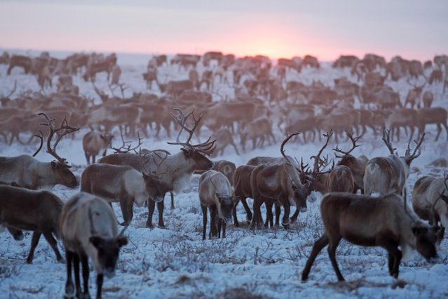The herd of reindeers are captured on camera in Siberia, December 2016. (Photo by Timothy Allen/Barcroft Productions)