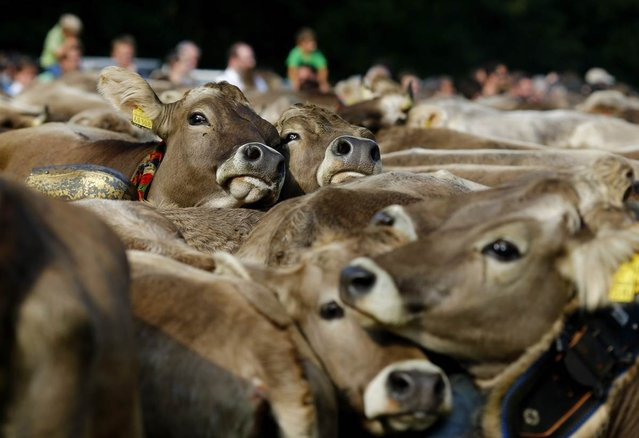 """Cows are held in a cattle pen during the traditional """"Almabtrieb"""" near Munich, Bavaria, on September 11, 2012. At the end of the summer season, farmers move their herds down from the Alps to the valley and into winter pastures. (Photo by Michael Dalder/Reuters)"""