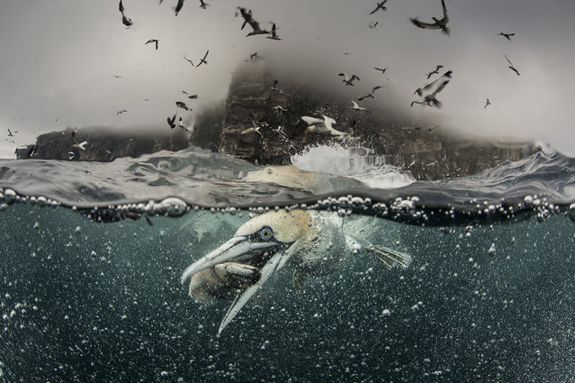 A gannet grabs a fish by its beak, 2014, in Shetland, Scotland. Hundreds of gannets crash into the sea in search of food – leaving a trail of air bubbles in their wake. Richard Shucksmith, 41, on the Shetland Isles, Scotland captured the remarkable scene as he took a boat to feed the large colony of seabirds that nested on the cliffs. The photographer has taken images of the gannets every summer for the last three years as the birds gather on the cliffs to breed. (Photo by Richard Shucksmith/Barcroft media)