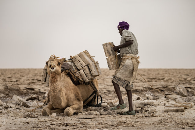 Dromedaries and donkeys are used to transport the salt. (Photo by Joel Santos/Barcroft Images)