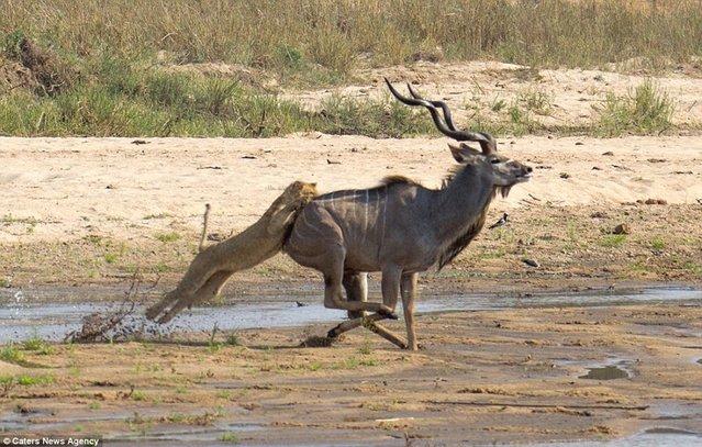 lioness VS Antelope
