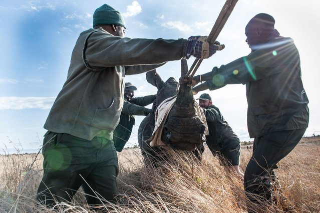 Members of the Kruger National Park Veterinary Wildlife Services in South Africa guide a sedated white rhino toward a loading truck in the Kruger National Park on October 17, 2014. (Photo by Stefan Heunis/AFP Photo)