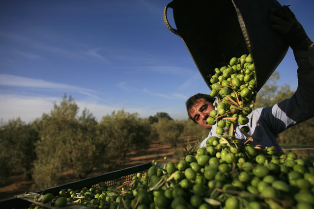 A worker empties out olives from a basket at an olive tree field in La Rinconada, near the Andalusian capital of Seville September 24, 2012. (Photo by Marcelo del Pozo/Reuters)