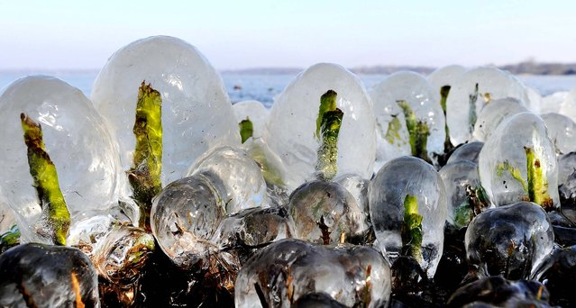 Reed sprouts are covered with thick ice at lake Zwischenahner Meer ind Bad Zwischenahn, in northern Germany on January 31, 2012. (Photo by David Hecker/Dapd)