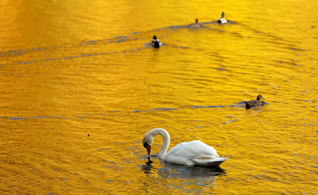 Autumn leaves are reflected in the water of Loch Faskally where a swan and ducks swim, in Pitlochry, Britain October 25, 2017. (Photo by Russell Cheyne/Reuters)