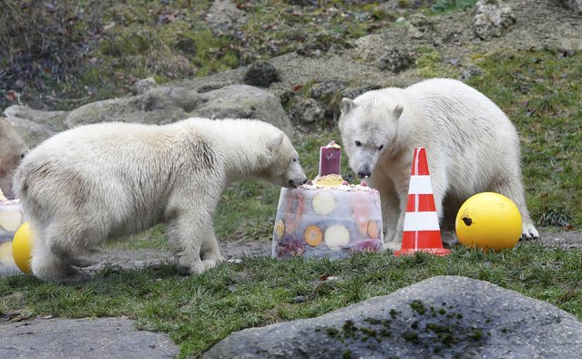 Twin polar bears Nela and Nobby eat an ice cake with fresh fruit and cream to celebrate their first birthday in their enclosure at Tierpark Hellabrunn zoo in Munich December 9, 2014. (Photo by Michaela Rehle/Reuters)