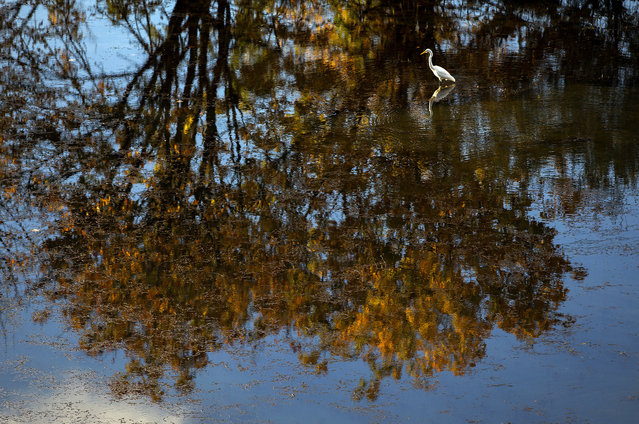 A great egret plies the waters of Delta Ponds while stalking a meal in the wetland area in Eugene, Ore., Monday, November 6, 2017. The water in Delta Ponds flows from the Willamette River creating habitat for a wide variety of birds and fishes. (Photo by Andy Nelson/The Register-Guard via AP Photo)