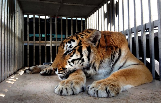 Ty is rests in an enclosure. (Photo by James Judge/Courtesy BluePearl Veterinary Partners)