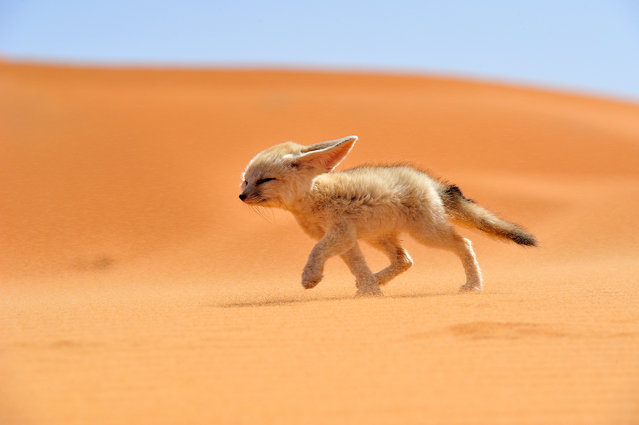 """Fénec – The soul of the desert"". The fennec, or desert fox is a canine mammal species of the genus Vulpes, which inhabits the Sahara Desert and Arabia. With its features ears, this is the smallest species of the family Canidae. It is endangered and its main threat is illegal in other countries. Location: Morocco. (Photo and caption by Francisco Mingorance/National Geographic Traveler Photo Contest)"