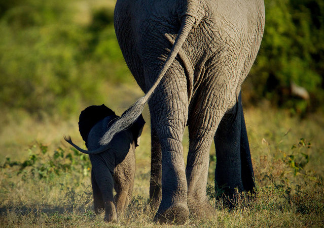 """Mother and calf"". Elephant calf walking in the protective shadow of it's mother. Love how I captured their tails swinging in unison. Chobe National Park, Botswana, Africa. (Photo and caption by Simon Hodgson/National Geographic Traveler Photo Contest)"